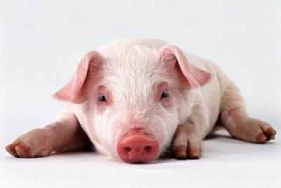 ВКрыму возбуждено уголовное дело пофакту незаконного захоронения свиней